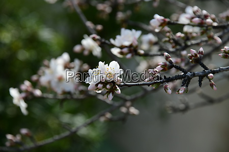 blossoms, on, almond, tree, , alicante, province, - 28218175