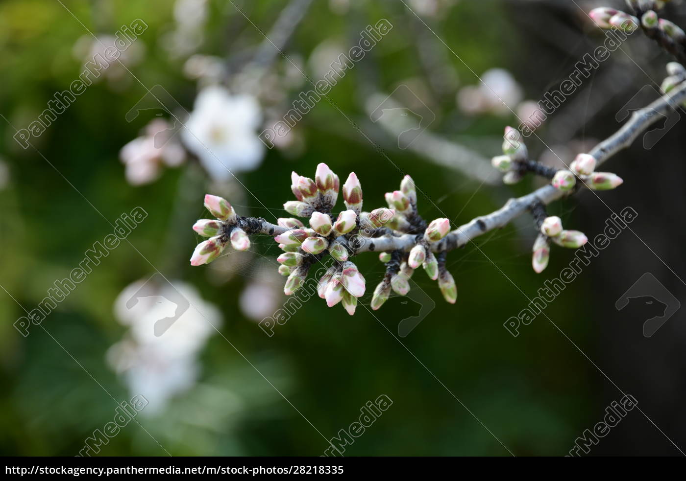 blossoms, on, almond, tree, , alicante, province, - 28218335