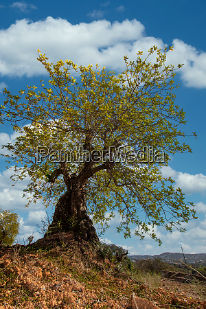 carob tree in cultivated land