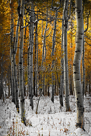 aspen trees in snow on owl