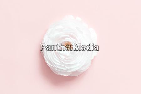 cream ranunculus flower on a light