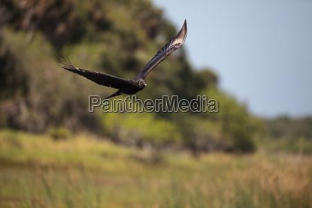 dark brown spread wings of a