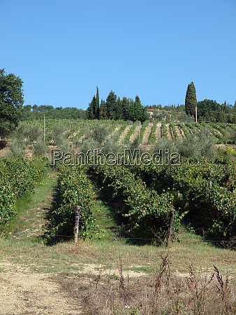 vineyard in chianti region