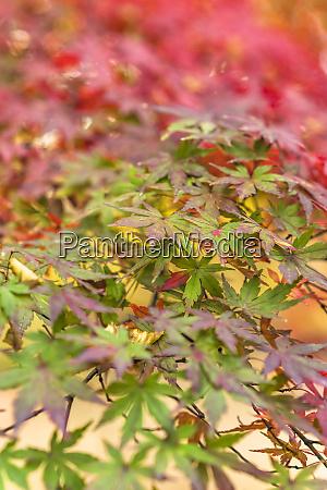 beautiful autumn colors of japanese maple