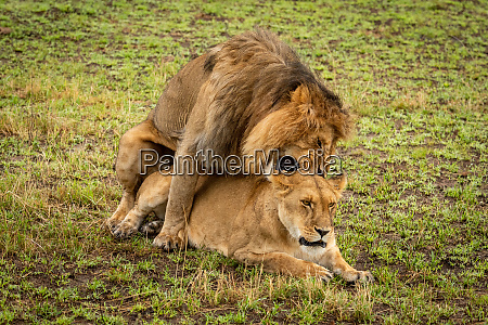 mating male lion bites neck of