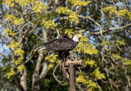 an american bald eagle haliaeetus
