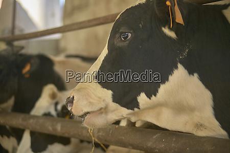 cows on the farm 13