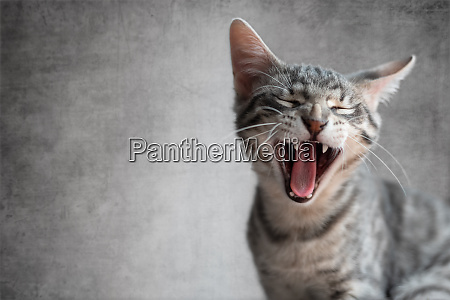 cat yawning with mouth open and
