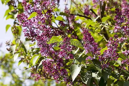 beautiful purple lilac