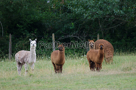 herd of alpacas vicugna pacos in