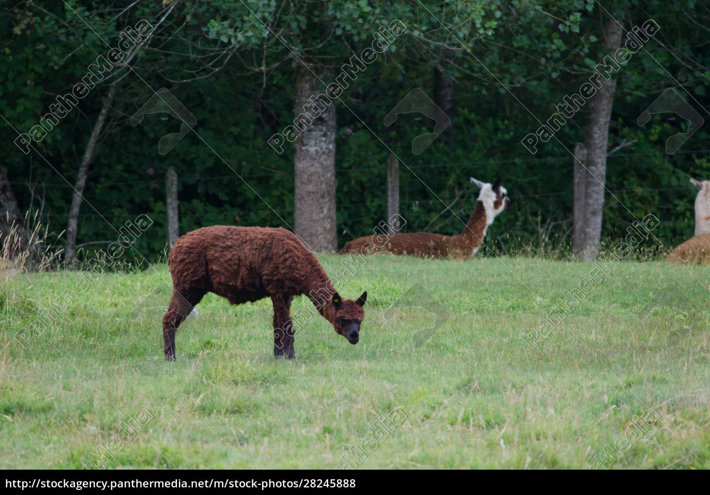 alpaca, vicugna, pacos, eating, in, a - 28245888