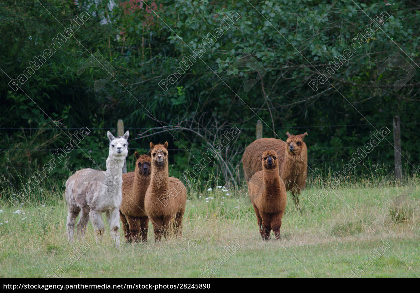 herd, of, alpacas, vicugna, pacos, in - 28245890