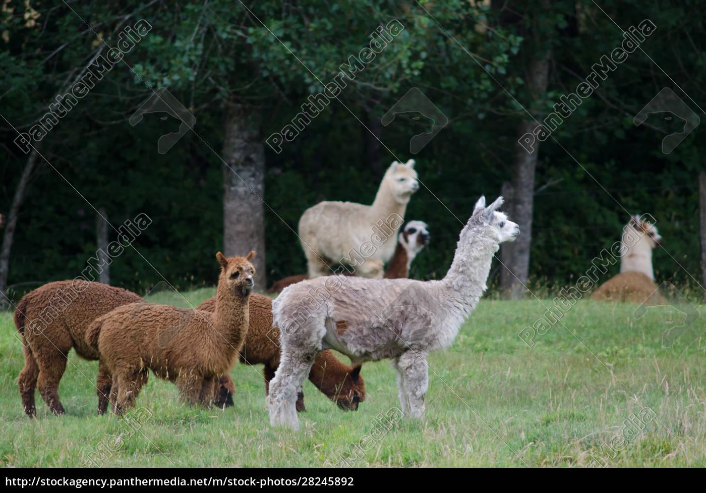 herd, of, alpacas, vicugna, pacos, in - 28245892