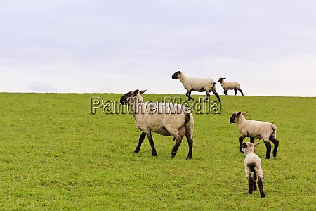 flock of sheep walking on green