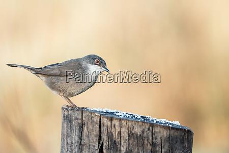 sylvia melanocephala warbler perched on a