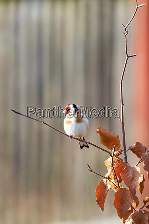 small european goldfinch in bird feeder