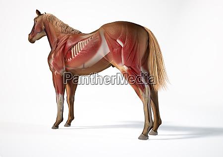 horse anatomy muscular system