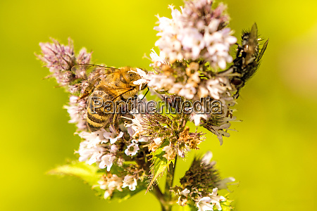 honey bee on a flower of