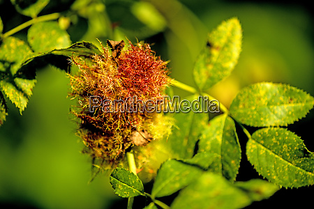 rose bedeguar gall mature gall on