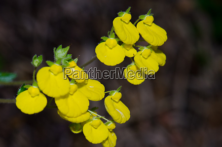 flowers of ladys purse calceolaria sp