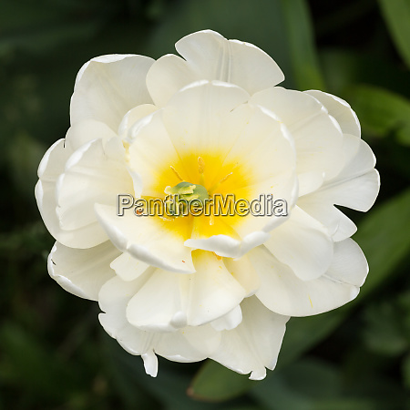 close up of white tulip in