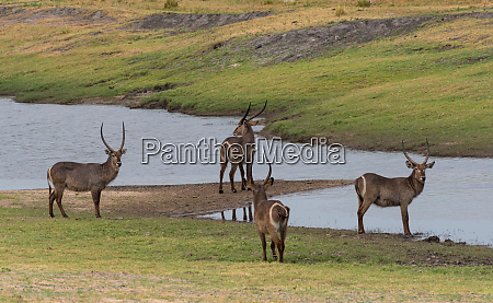 four male waterbuck antelope at a