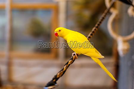 yellow lutino indian ringneck parakeet sitting