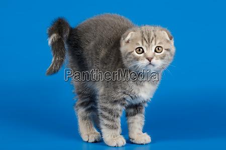 scottish fold shorthair cat on colored