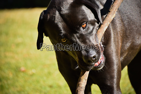 a black labrador x american bulldog