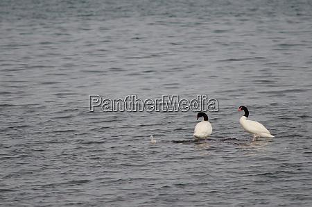 black necked swans cygnus melancoryphus on