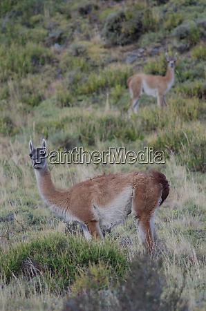 female and cub of guanaco lama