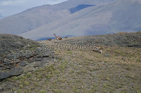 males of guanaco lama guanicoe chasing