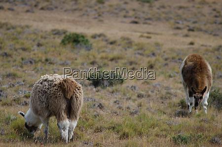 llamas lama glama grazing in a