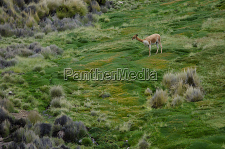 vicuna vicugna vicugna in lauca national