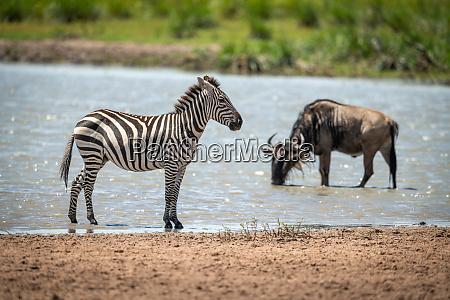 plains zebra stands in shallows near