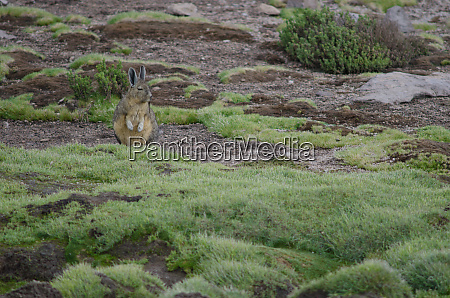 southern viscacha lagidium viscacia in a