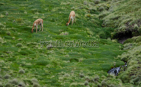 vicunas vicugna vicugna grazing in a