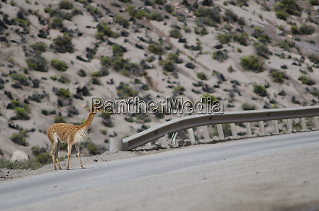 vicuna vicugna vicugna waiting to cross