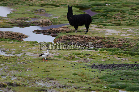 andean goose and alpaca in the