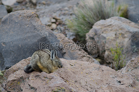 southern viscacha lagidium viscacia sleeping on