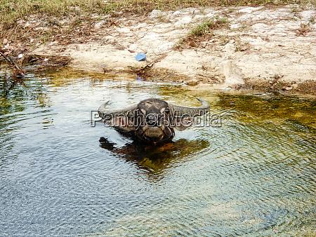 water buffalo in cambodia angry