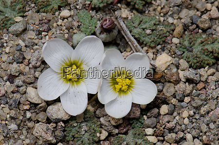 plant nototriche rugosa in flower in