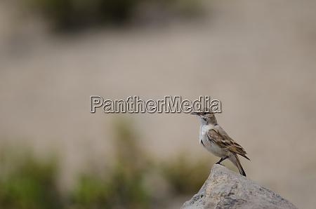 bird on a rock in lauca