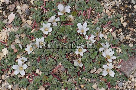plant nototriche rugosa in flower lauca