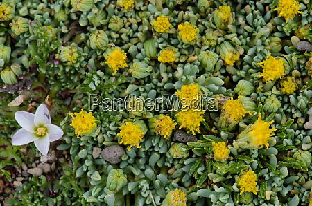wild plants in flower with nototriche
