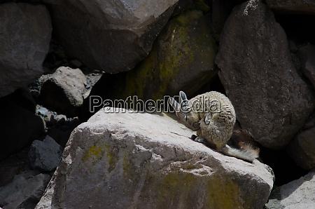 southern viscacha lagidium viscacia wiping coat