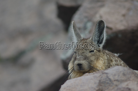 southern viscacha lagidium viscacia resting in