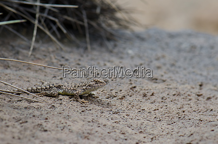 iguanian lizard liolaemus sp in lauca
