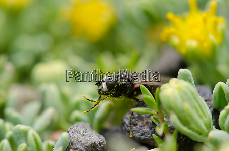 fly grooming on a plant lauca