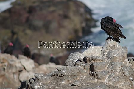 turkey vulture cathartes aura preening on